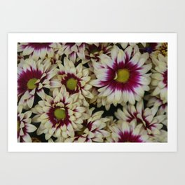 Multi color daisies! Art Print