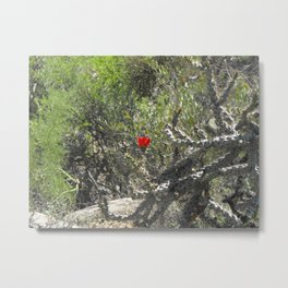 Cane Cholla Cactus in Bloom, Red Flower Metal Print