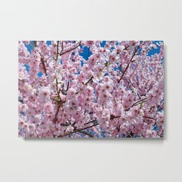 A Blossoming Japanese Cherry Tree Metal Print