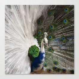 Blue White Peacock Canvas Print