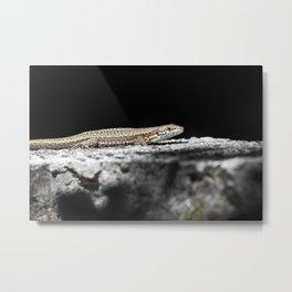 Common Lizard warms in the sun Metal Print