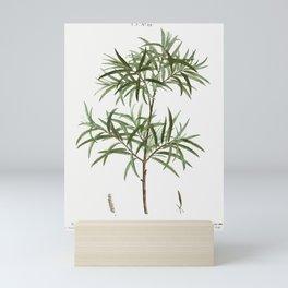 Bitter willow, Salix angustifolia from Traité des Arbres et Arbustes que l'on cultive en France en p Mini Art Print