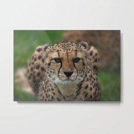 Cheetah Stare Metal Print