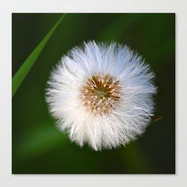 Softness Dandelion Canvas Print