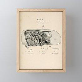 W Sidney Berridge - A Book of Whales (1900) - Figure 14: Foetus of a Beluga Whale Framed Mini Art Print