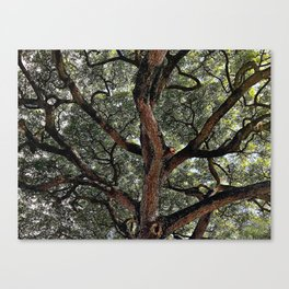 Albuzi Tree Canvas Print