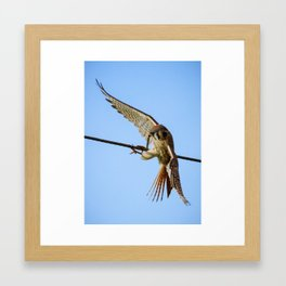 An American Kestrel Flying with a Caterpillar Insect in its Beak Framed Art Print