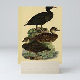 Black Scoter Mini Art Print