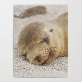 Sleeping baby sea lion Poster