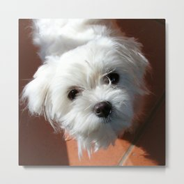 Cute Maltese asking for a treat Metal Print