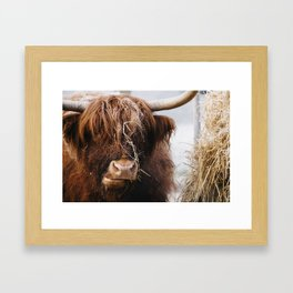 Highland cow feeding on straw on a frosty winters morning. Norfolk, UK. Framed Art Print
