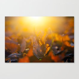 fallen leaves of a maple Canvas Print