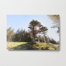 Lopsided Sierra Juniper Tree (Lake Tahoe, California) Metal Print