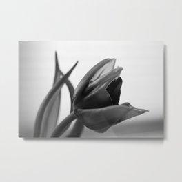 Tulip Blooming In Black And White Metal Print