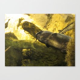 Catfish Canvas Print