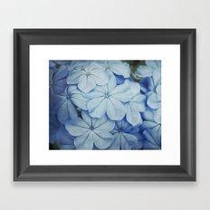 Blue Plumbago Framed Art Print