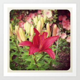 Asiatic Lilly Art Print