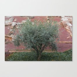 Rome, Olive tree in the Park Canvas Print