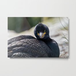 Shag (Phalacrocoracidae) staring at camera with emerald green eyes Metal Print