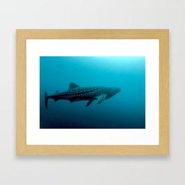 Whale shark juvenile Framed Art Print