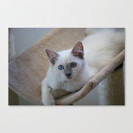 Ragdoll Kitten Canvas Print