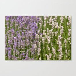 Lavender & White Lavender Canvas Print