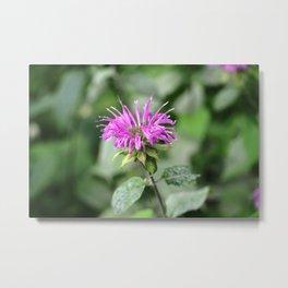 Monarda - Bee Balm Metal Print
