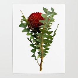Banksia - Australian Native Flower Poster