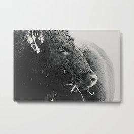 Black and White Heifer Metal Print
