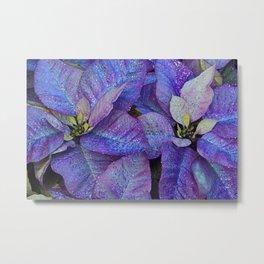 Purple poinsettia flowers Metal Print