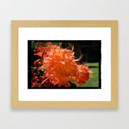 Fire Azalea Framed Art Print