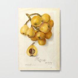 Loquat Fruit Botanical Print Watercolor, 1909 Metal Print