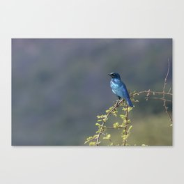 Cape Glossy Starling Canvas Print