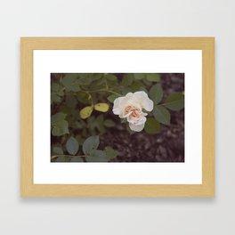 The Last Blossom (Autumn Rose) Framed Art Print