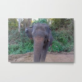 The Asian Elephant Metal Print