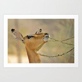 Impala Antelope - Eating Healthy Art Print