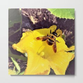 Eastern Carpenter Bee on Squash Blossom Metal Print