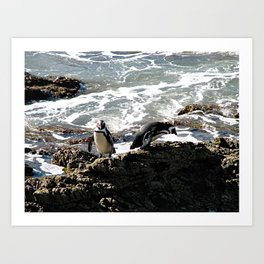 African Penguins at Boulders Beach, Cape Town Art Print