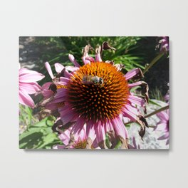 #406 flowers and bugs/bee bitterroot mt Metal Print