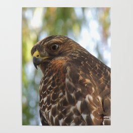 Young Red-Shouldered Hawk in a Desert Willow Poster