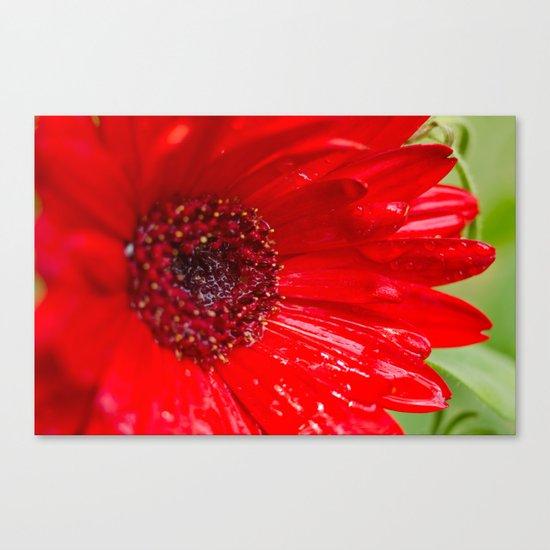Red Gerber Daisy Canvas Print