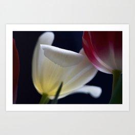 White tulip in light II Art Print