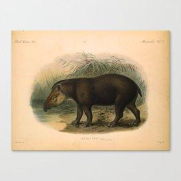 Vintage Scientific illustration, c. 1880 (Tapir) Canvas Print