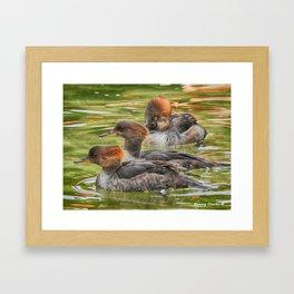 Common Merganser Trio Framed Art Print