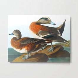 American Wigeon Audubon Birds Vintage Scientific Hand Drawn Illustration Metal Print