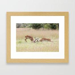 Fighting Impala on The Serengeti Framed Art Print