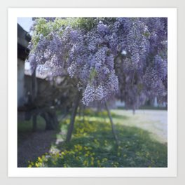 100-Year-Old Wisteria in the Spring Art Print