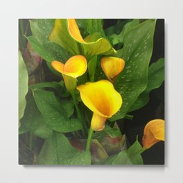 Lavish Yellow Calla Lilies With Lush Leaves Metal Print