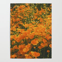 California Poppies 003 Poster
