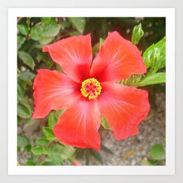 Head On Shot of a Red Tropical Hibiscus Flower Art Print
